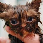 少しの辛抱だから我慢しておくれ シャンプー中のずぶ濡れなネコの写真10選