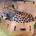"""猫の親戚もやっぱりダンボールが好きらしい ダンボールが大好きな""""ネコ科""""の動物たちの写真集"""