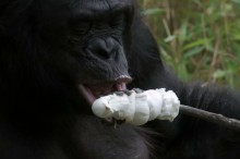 自力で焚き火をしてマシュマロを焼いて食べるお猿さん