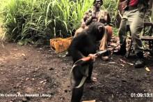 えらいこっちゃ! チンパンジーにAK-47持たせたら大乱射!