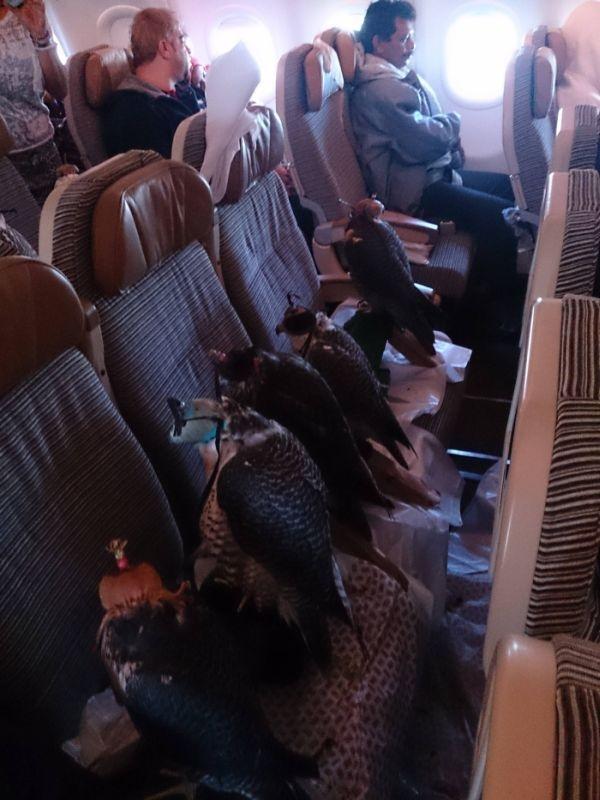 """アラブの富豪が""""鷹""""のために飛行機の座席を12席分購入して座らせる001"""