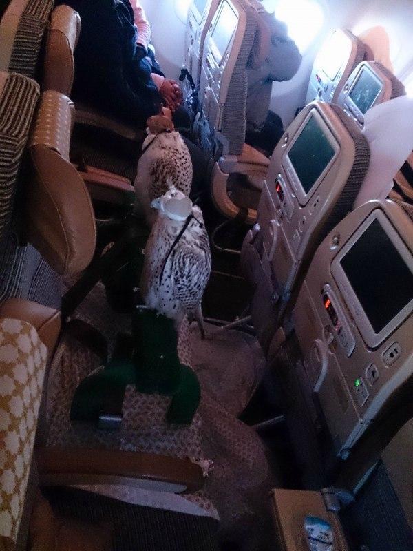"""アラブの富豪が""""鷹""""のために飛行機の座席を12席分購入して座らせる002"""