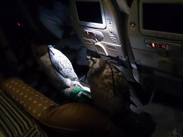 """アラブの富豪が""""鷹""""のために飛行機の座席を12席分購入して座らせる003"""