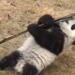 葉っぱまで手が届かないよ! 竹と奮闘するパンダの赤ちゃん