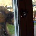 自力でドアノブを押して勝手に家の中に入ってくるヤギ