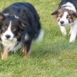 そろ~り、そろ~り 忍び足で仲間の犬に近づいていくボーダーコリー犬