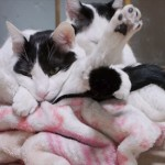 どうなってるの? 絡み合って寝ている双子のネコ