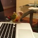 「ダンスをしている鳥」の動画見ていたら飼ってるオウムもダンスを始めた。しかも二羽で。