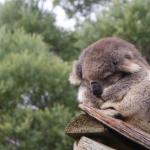 【写真21枚】僕、もう眠たいの・・・ コアラの寝顔がとってもキュート