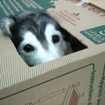 猫のように箱に入るのが大好きなハスキー犬