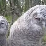 ひたすらカメラの動きにあわせて目線を送り続ける二羽の赤ちゃんフクロウ