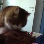 頭をペロペロ髪をカミカミ 寝ている飼い主の頭を毛づくろいするネコ