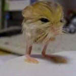大きさは500円玉、重さは3.2gの世界最小のネズミ