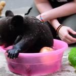 わんぱくでとってもキュート 赤ちゃんツキノワグマの入浴