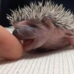 ペロペロペロ… 指を一生懸命舐めるハリネズミの赤ちゃん