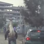 エチオピアで目撃されたヤギをおんぶして自転車で運ぶ男性