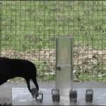 カラスの賢さがよくわかる 水位を利用してエサを取るカラス