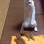 赤ちゃんネコを前にして不思議な踊りを踊るネコ