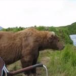 アラスカヒグマを観察するよ!→いつの間にか隣にいたぁぁぁ!!