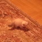 うぉっ!ニャンだ!? 動くカーペットに翻弄される子ネコ
