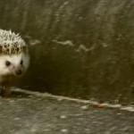 走れ!まるたろう!! トコトコ一生懸命走るハリネズミが可愛い