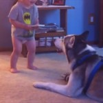 人間の赤ちゃんと楽しげに会話するハスキー犬
