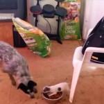 ご飯を食べたい大型犬からご飯を必死で守る子犬