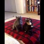 音楽に合わせてシンクロナイズド・ダンシングしちゃう子猫のコンビ