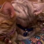 【ジェットストリーム毛づくろい】川の字になって毛づくろいする3匹のネコ