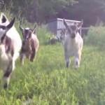 赤ちゃんヤギの群れがお姉さんの後をついて走る姿がめちゃカワイイ