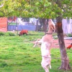 後ろ足で器用に立って葉っぱをむしゃむしゃ食べるヤギ