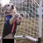 【攻めも守りもOK】サッカーをプレーするビーグル犬