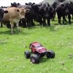 ラジコンカーを前にした牛の群れの反応が微笑ましい