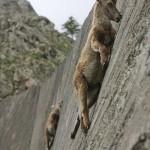 崖すら登ってしまうヤギの登坂能力がすごい件
