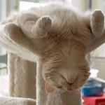 【画像27枚】なぜ、そんな格好で寝るのか不思議 もの凄く寝相の悪いネコ