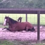 座って休んでいる馬の背中に登って遊ぶ赤ちゃんヤギ