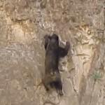 脅威の身体能力 身一つで断崖絶壁を登るクマ