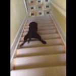 我が家の子犬がヘンな階段の降り方を覚えちゃった