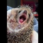 なんだか眠くなっちゃった 疲れたらあくびが出たハリネズミの赤ちゃん