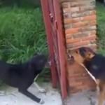 大げんか寸前!ゲート越しに威嚇しあう犬 でもちょっと待て、なにかがおかしいぞ
