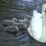みんなママが大好き お母さんの背中にみんなで乗り込む白鳥の赤ちゃん