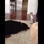 とうりゃー!おうりゃー!! 果敢に挑む子ネコとまったく動じないドーベルマン