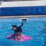 おっかなびっくりながらも乗りこなしてます ボディーボードでプールを渡るワンちゃん